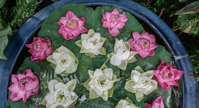 De witte en roze decoratie van de lotusbloembloem stock foto