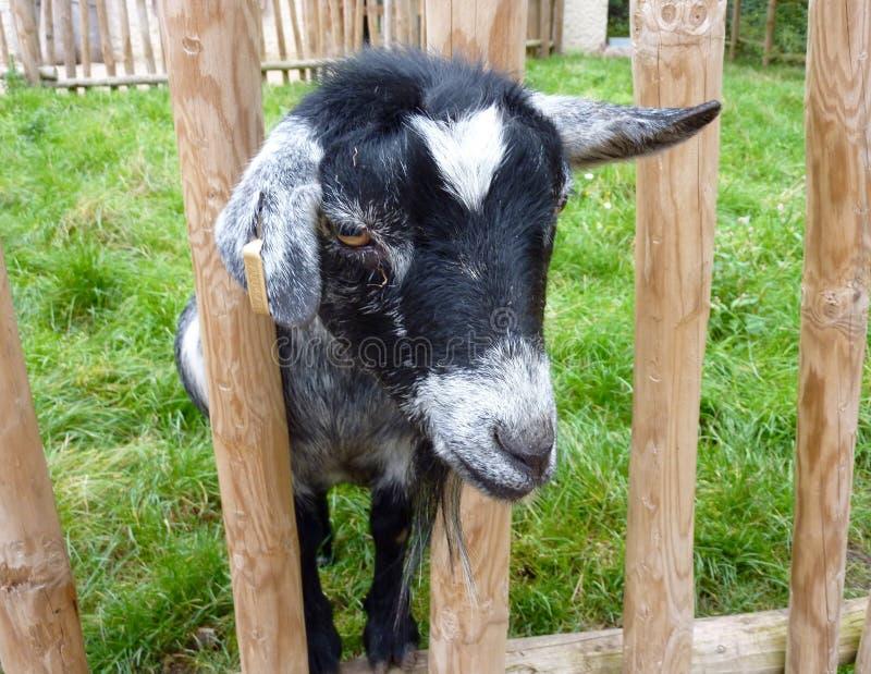 De witte en zwarte geit van de baby royalty-vrije stock foto