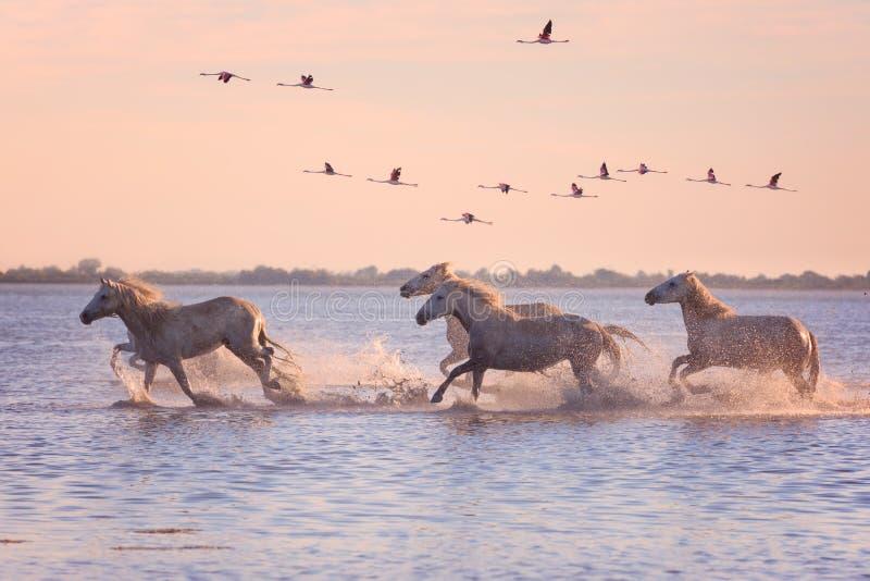 De witte galop van de paardenlooppas in het water tegen de achtergrond van vliegende flamingo's bij zonsondergang, Camargue, Fran stock afbeelding