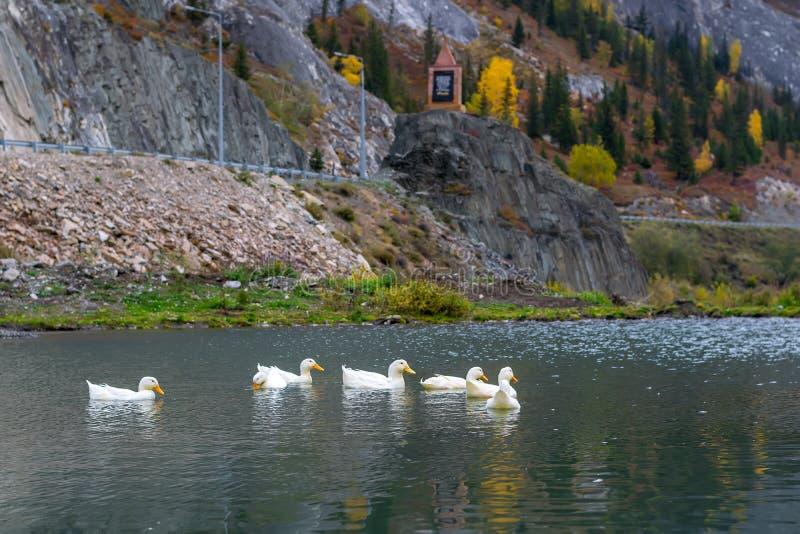 De witte ganzen zwemmen in de vijver op de achtergrond van een berglandschap en een weg met een monument royalty-vrije stock fotografie