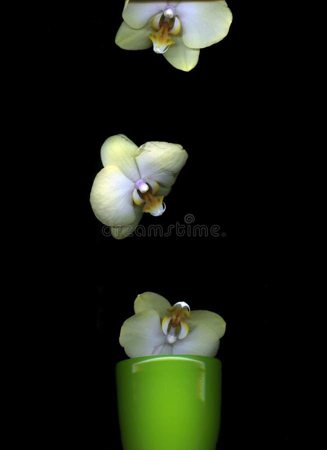 De witte geïsoleerde bloemblaadjes van de Orchideebloem royalty-vrije stock fotografie