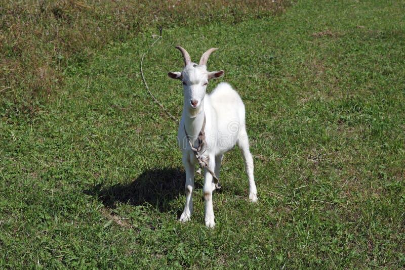 Download De witte geit stock afbeelding. Afbeelding bestaande uit zoogdier - 10777629