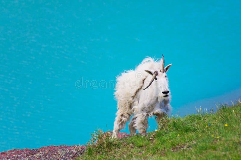 De witte Geit van de Berg stock fotografie