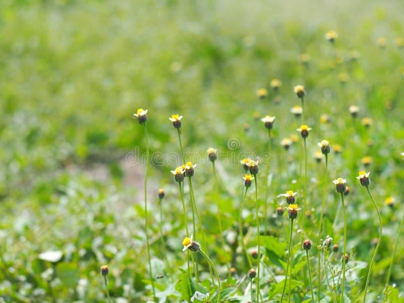 De witte gele uiterst kleine wilde bloemen van het madeliefjegras royalty-vrije stock afbeeldingen