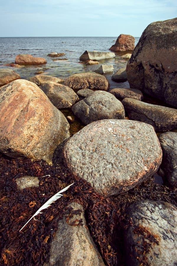 De witte grote lange veer van een vogel ligt op bruine algen onder de stenen in de Golf van Finland royalty-vrije stock afbeelding