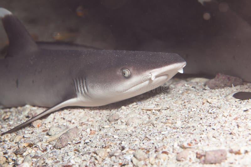 De witte haai van de uiteindeertsader royalty-vrije stock foto