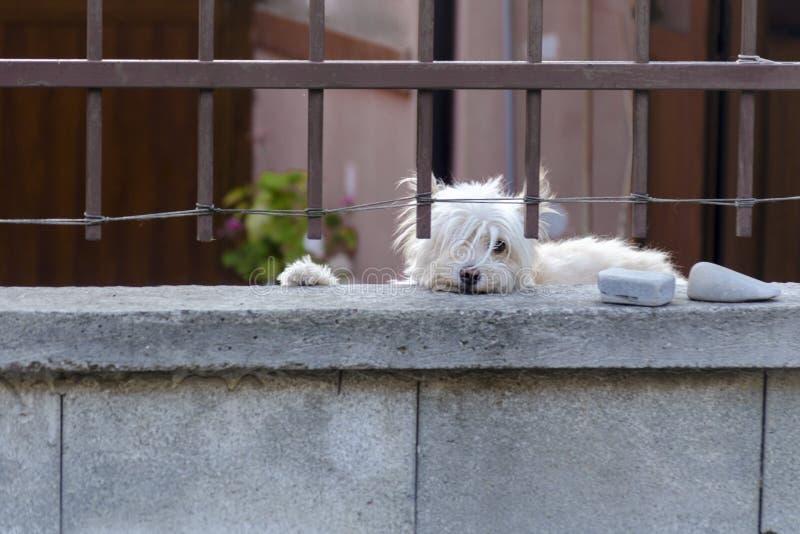 De witte hond bewaakt huis en bekijkt de voorbijgangers De leuke hond achter metaalomheining bevindt zich bij de tuinpoort en royalty-vrije stock afbeelding
