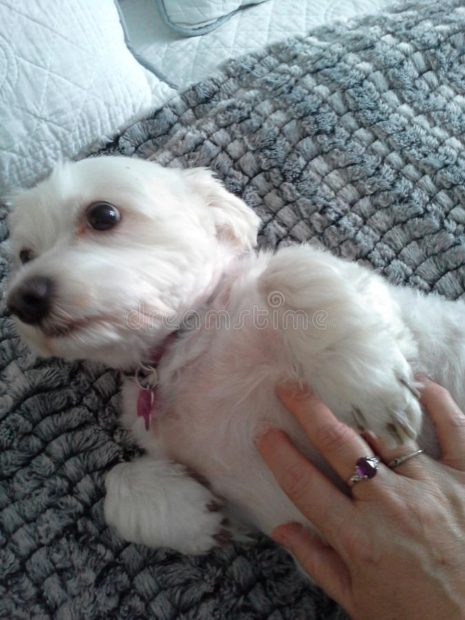 de witte hond krijgt buikoneffenheid royalty-vrije stock fotografie
