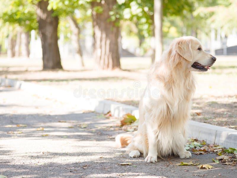 De witte hond van Labrador stock afbeelding