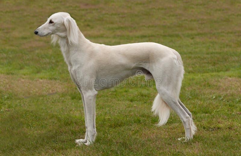De witte hond van Saluki of van de gazelle royalty-vrije stock fotografie