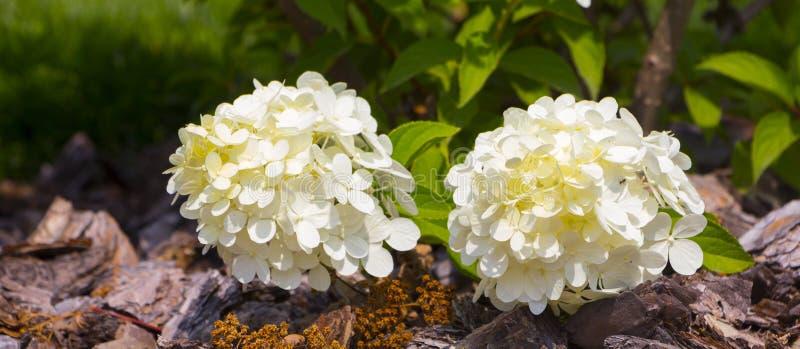 De witte hydrangea hortensiabloemen schrijven romantische bloemenachtergrond in stock fotografie