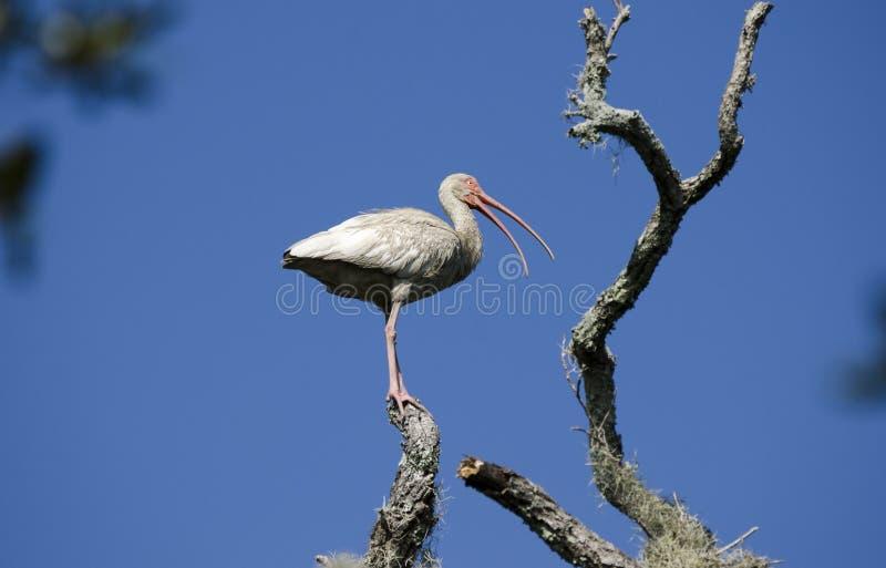 De witte Ibis die vogel waden streek in boom, Pickney-Toevluchtsoord van het Eiland het Nationale Wild, de V.S. neer royalty-vrije stock fotografie