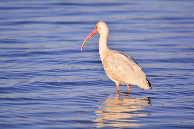 De witte ibis jacht royalty-vrije stock foto