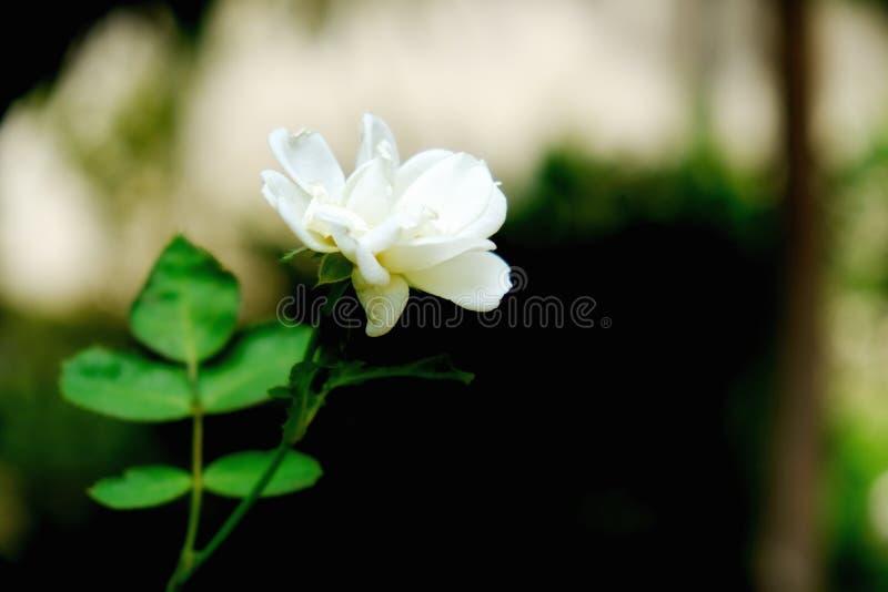 De witte jasmijnbloem met doorbladert royalty-vrije stock afbeeldingen