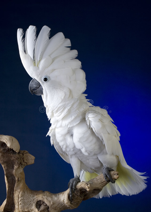 De witte Kaketoe van de Paraplu