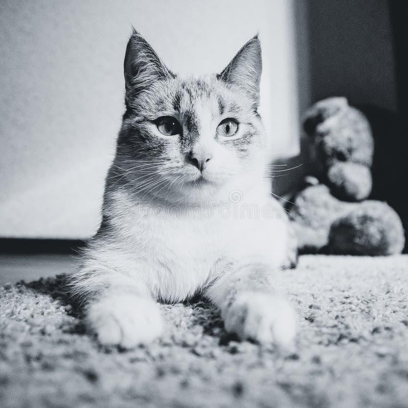 De witte kat die op een tapijt in liggen stelt van de Sfinx kijkend kalm, zwart-wit stock fotografie
