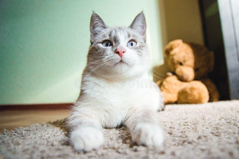 De witte kat die op een tapijt in ligt stelt van de Sfinx omhoog kijkend, zwart-wit royalty-vrije stock afbeeldingen