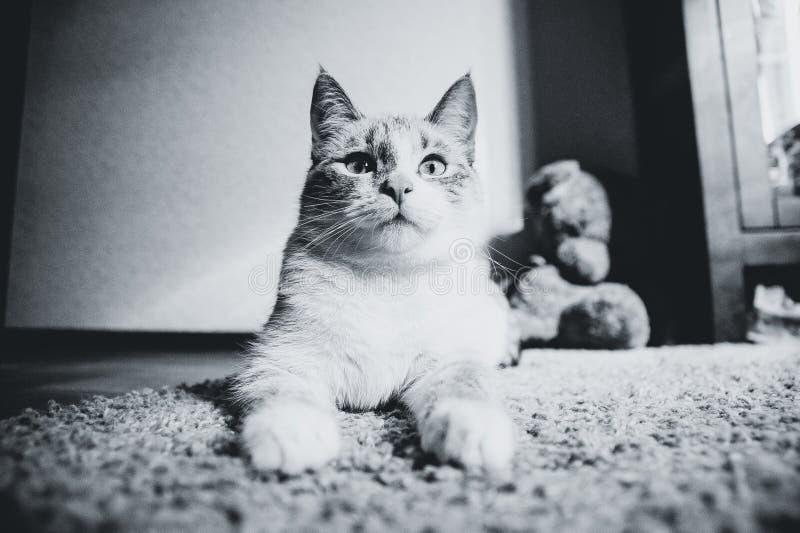 De witte kat die op een tapijt in ligt stelt van de Sfinx omhoog kijkend, zwart-wit stock foto's