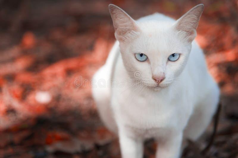 De witte kat staart en zit op de rode die grond van rode Esdoornbladeren wordt gemaakt in het park De herfst of lentetijd selecti royalty-vrije stock afbeelding