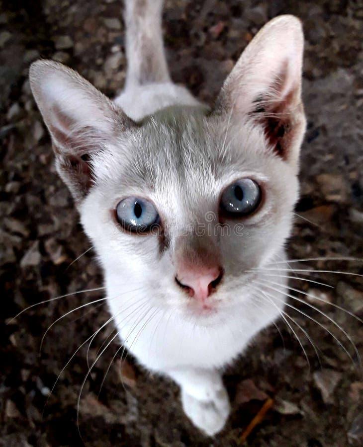 De witte katten witte ogen staren royalty-vrije stock foto