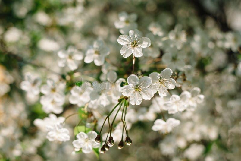 De witte kers bloeit dicht omhoog met mooie bokeh op achtergrond royalty-vrije stock fotografie
