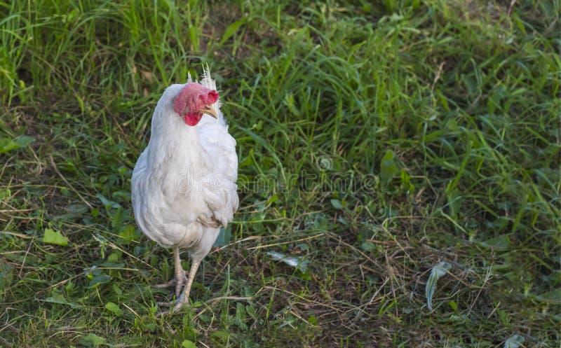 De witte kip loopt vrij op groen sappig gras in de binnenplaats van het landbouwbedrijf stock fotografie