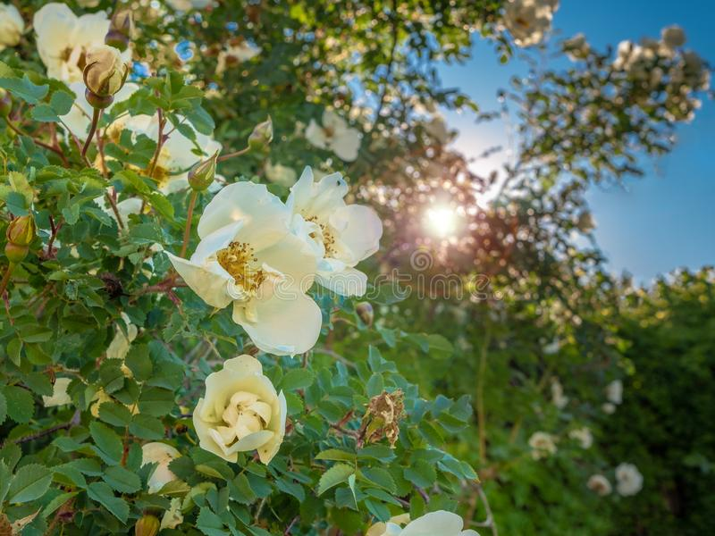De witte knoppen van magnificently wild tot bloei komen namen tegen de achtergrond van de glanzende zonneschijn toe stock afbeelding