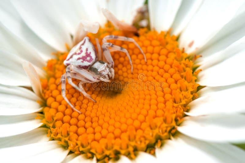 De witte krabspin op witte bloem, sluit omhoog Vatia van Misumena royalty-vrije stock fotografie