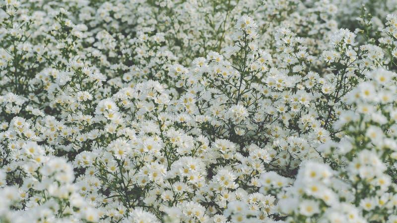 De witte Kutterbloem bloeit mooi... is een bloem die in een bloemenet is gedecoreerd. stock foto's