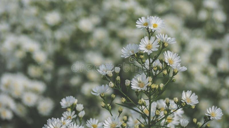 De witte Kutterbloem bloeit mooi... is een bloem die in een bloemenet is gedecoreerd. royalty-vrije stock fotografie