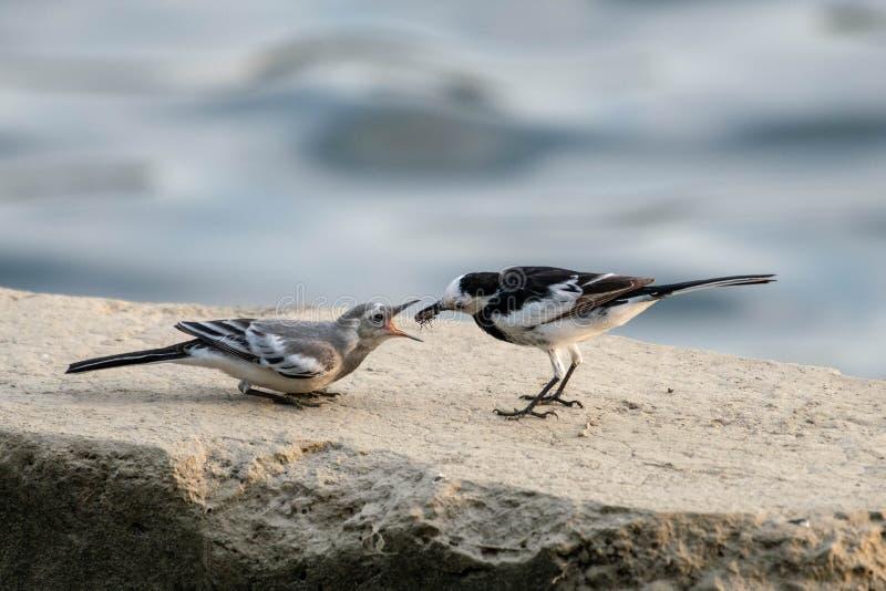 De witte Kwikstaart heft jonge kinderen op en onderwijst het vliegen stock afbeeldingen