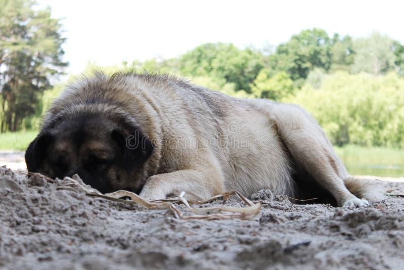 De witte landelijke hondslaap en ligt die op een grond wordt gekruld in een zware mist en een koude dag, wintertijd royalty-vrije stock foto's