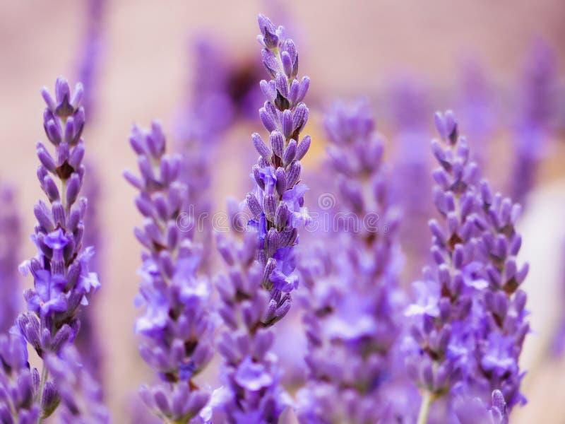 De witte lavendel bloeit dicht omhoog gezien royalty-vrije stock foto's
