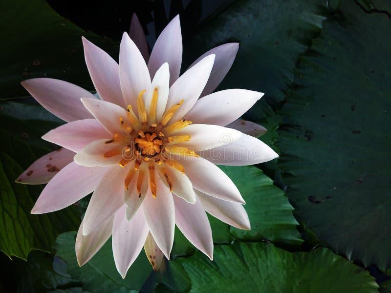 De witte lotusbloem royalty-vrije stock afbeelding