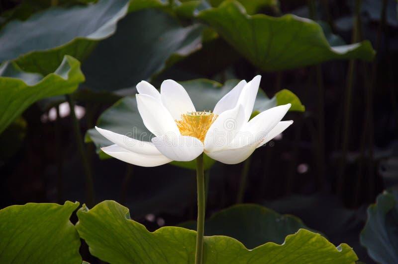 De witte lotusbloem royalty-vrije stock foto