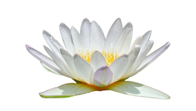 De witte lotusbloem op een witte achtergrond isoleert royalty-vrije stock afbeeldingen
