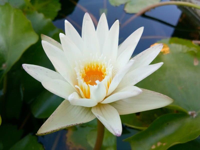 De witte lotusbloem van de stroomversnellinglelie! royalty-vrije stock afbeelding