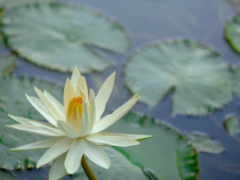 De witte lotusbloembloem op groene bladachtergrond, Mooie bloem in een vijver als natuurlijke achtergrond royalty-vrije stock afbeelding