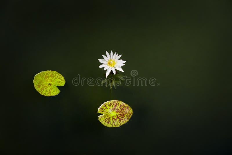 De witte lotusbloembloesem en het bloeien in de vijver met 2 doorbladeren De achtergrond van de aard stock foto's