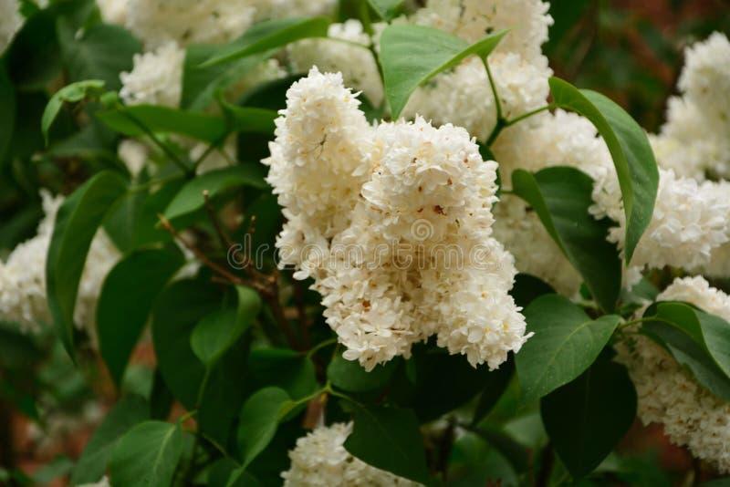 De witte mooie bloem in de tuin glanste bij zon royalty-vrije stock afbeeldingen