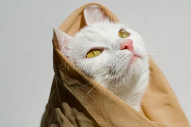 De witte mooie kat in een sjaal bekijkt het licht stock afbeeldingen