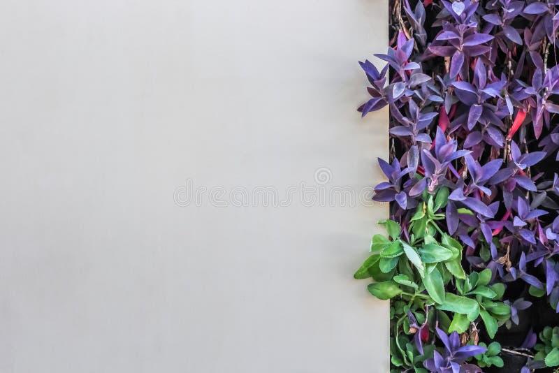 De witte muurachtergrond verfraait met Tradescantia-spathacea purpere kleur stock foto