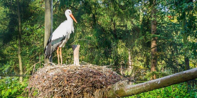 De witte ooievaar die zich in zijn en nest bevinden die, migreerde vogel van Afrika rond op letten eruit zien stock afbeeldingen