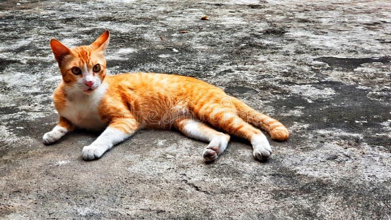 De witte oranje bruine de kattenkou van de kleurenpot zit op de grijze concrete vloer stock foto's