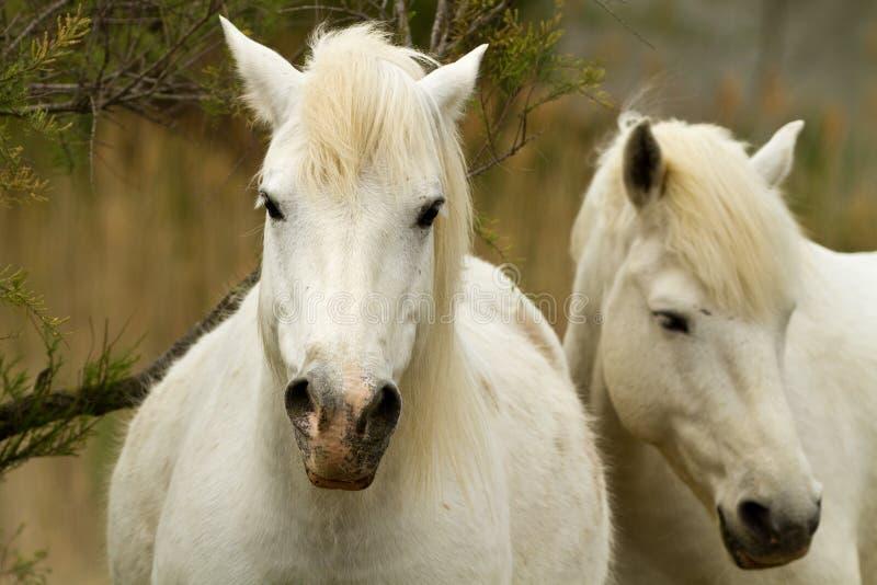 De Witte Paarden van Camargue stock fotografie