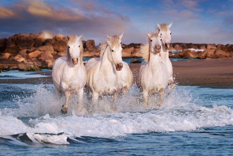De Witte Paarden van Camargue stock foto's
