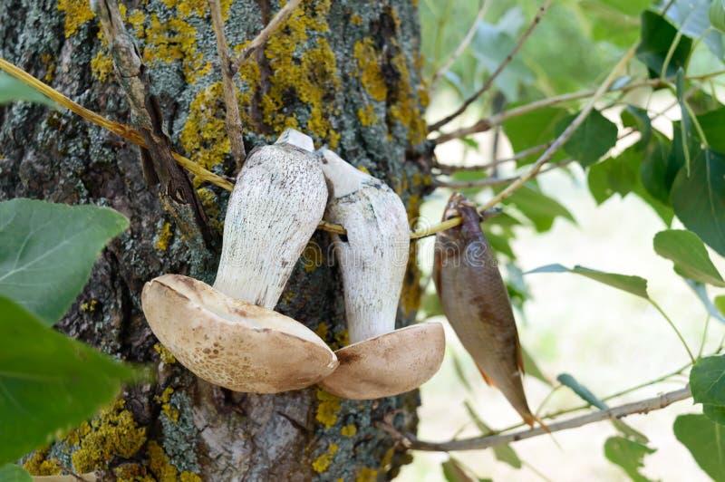 De witte paddestoelen zijn droog op een tak op een boom stock foto's