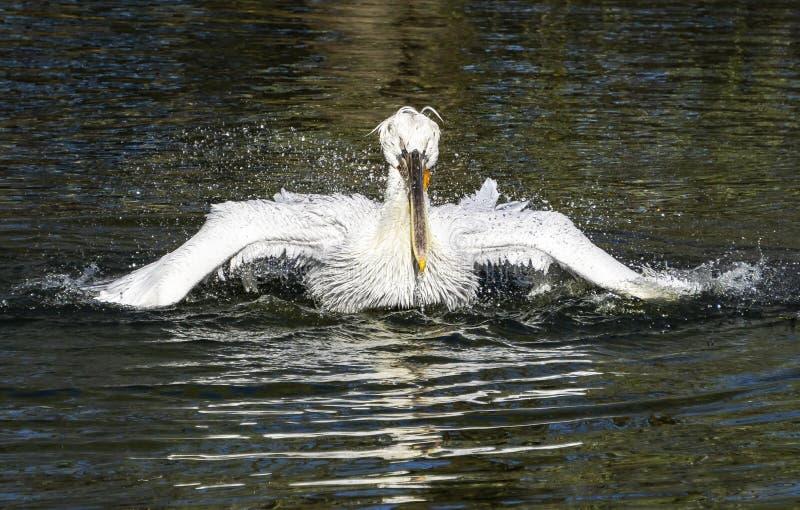 De witte pelikaan maakt veren schoon royalty-vrije stock foto's