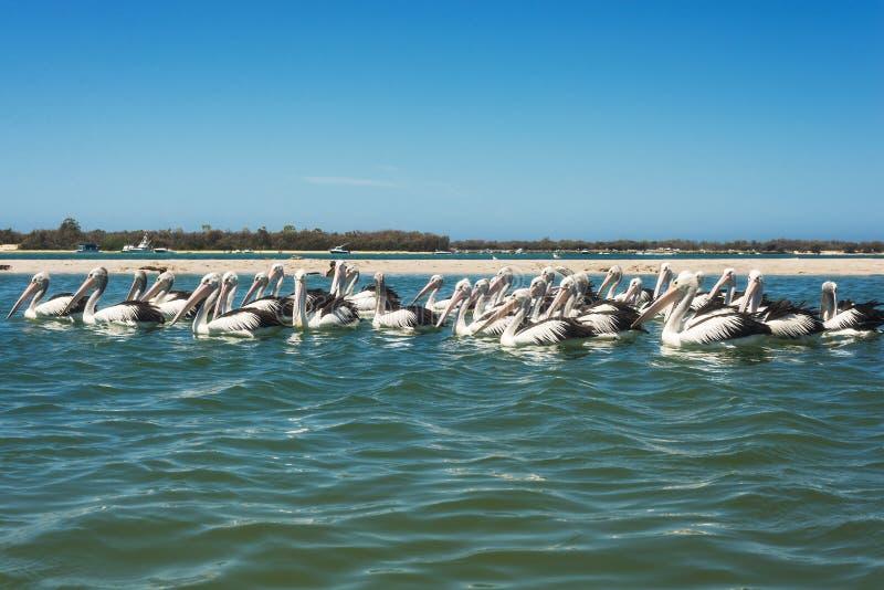 De witte pelikanen zwemmen in de overzeese baai, Australië royalty-vrije stock fotografie