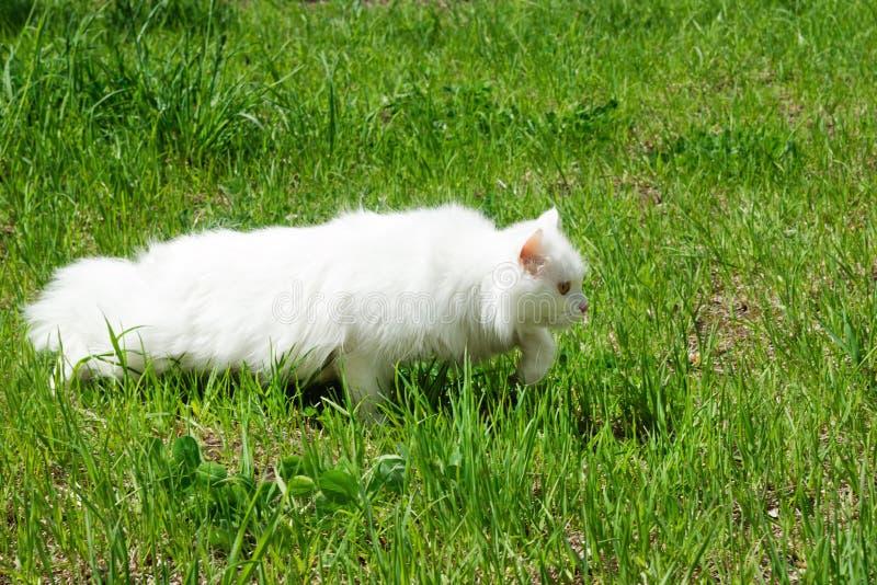 De witte pluizige kat loopt op een gras stock afbeelding